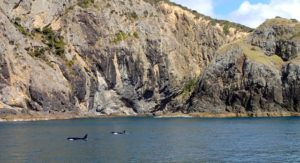 Orca_spotting_bay_of_islands_new_zealand