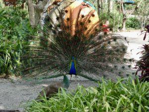 Peacock_at_Flamingo_Gardens_Florida