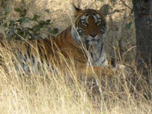 Tiger_in_Wild_India