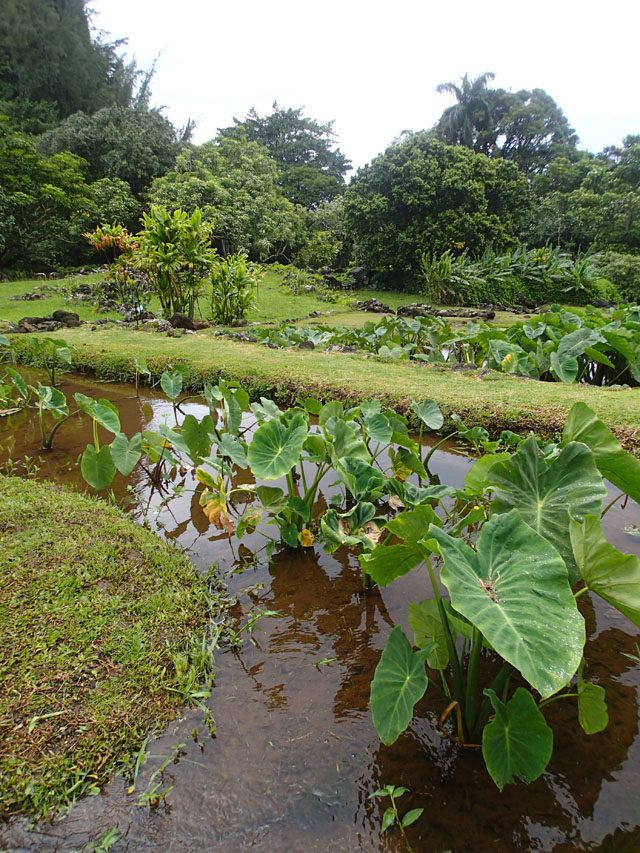 Cultural Travel to Kauai through Taro