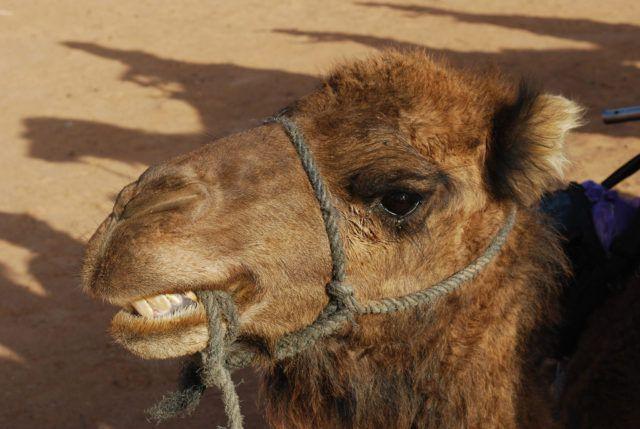 Cranking_Camel