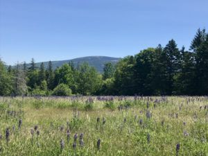 Lupine_in_bloom_summer_in_Acadia_National_Park_Maine