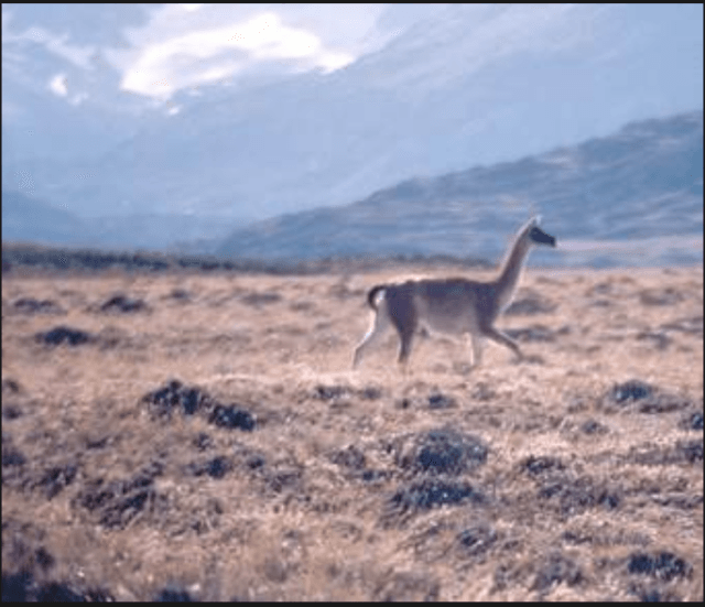 Guanaco_Patagonia