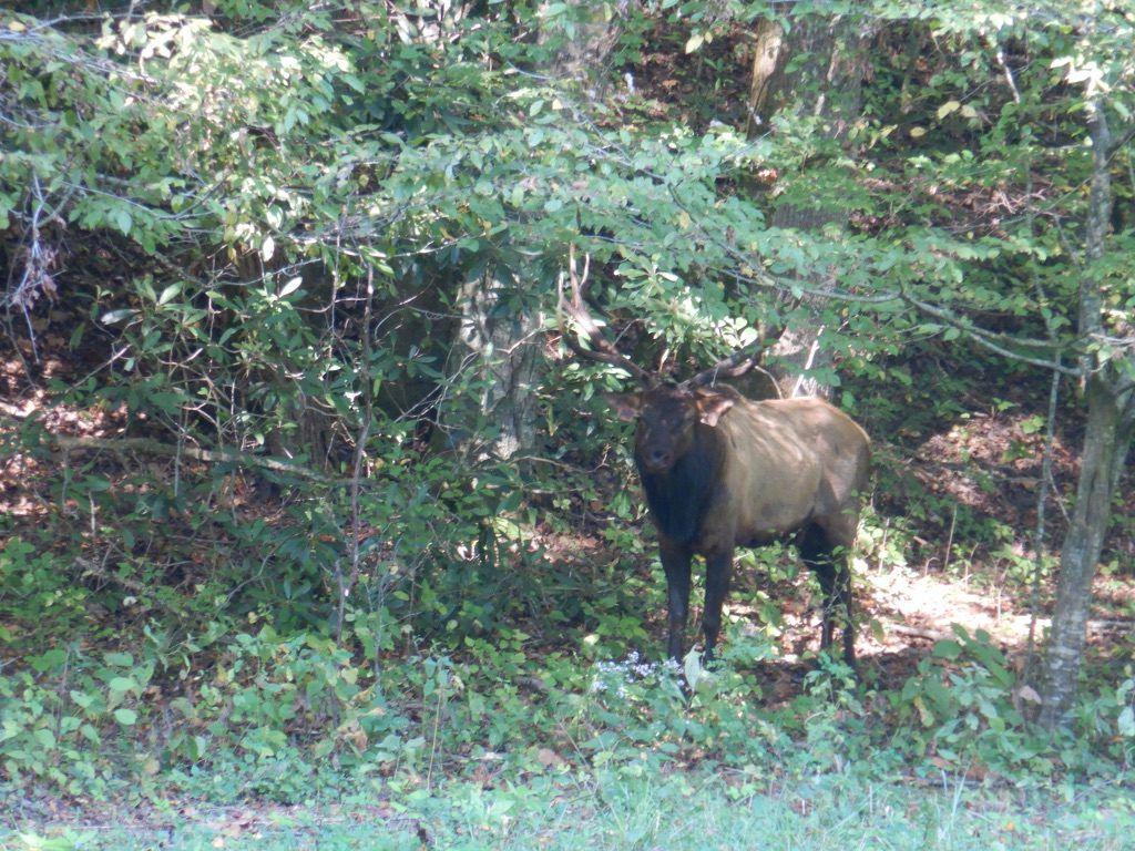 Elk_Trumpeting_Great_Smokey_Mountains_National_Park_Heidi_Siefkas